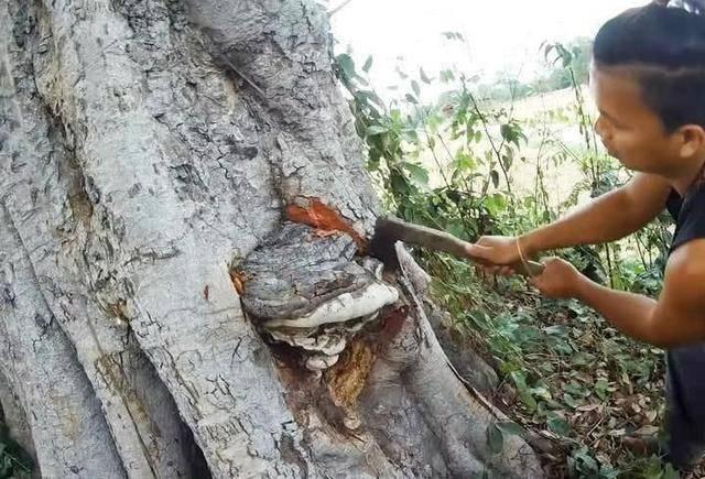小伙发现树干上长了个怪东西,好奇上前查看,仔细看清后惊喜万分