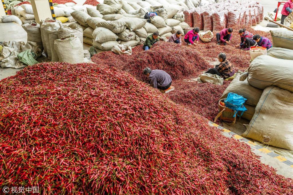 贵州遵义辣椒种植基地迎丰收