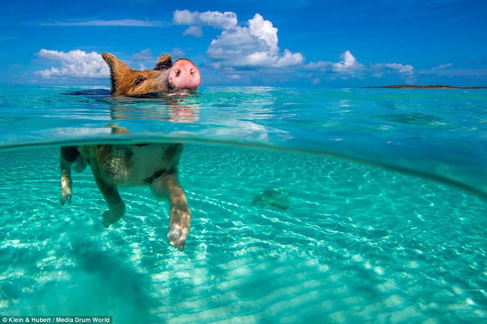 这座海岛上的猪太幸福!自学游泳还吃喝不愁