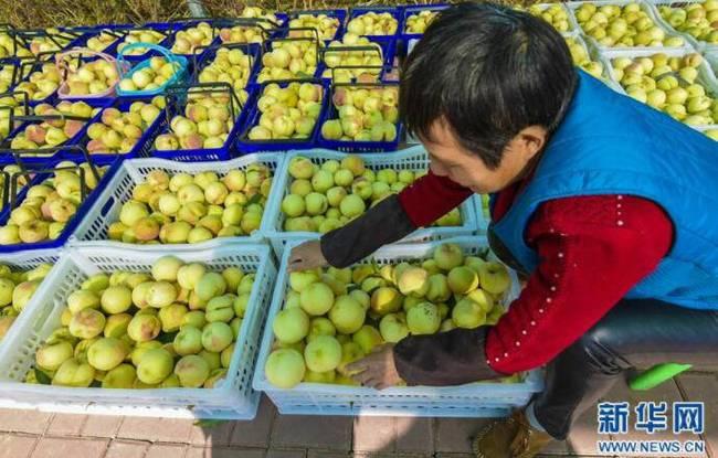 河北故城:冬桃种植助脱贫