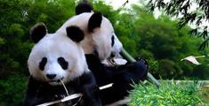 当强迫症饲养员遇上熊猫