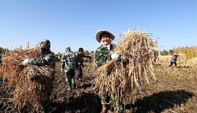 超级杂交水稻再创新高