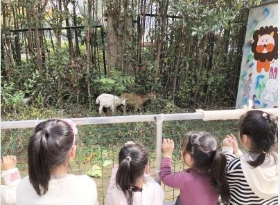 """全园师生变身""""饲养员"""" 幼儿园养了两只小羊"""
