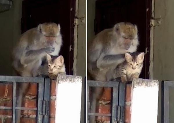 """顽皮猴子""""绑架""""小猫为其清理皮毛 喵星人似很享受"""