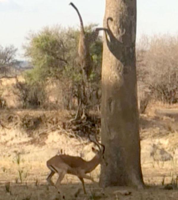 实拍花豹从树上跃下精准秒杀羚羊刺激过程