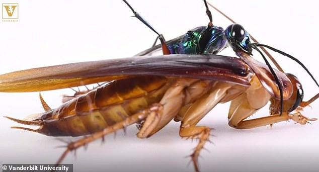 昆虫之战:蟑螂会用后足保护自己不被黄蜂寄生