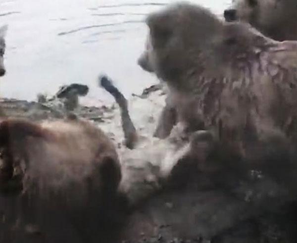 残忍!荷兰一动物园四棕熊将一母狼活活吃掉