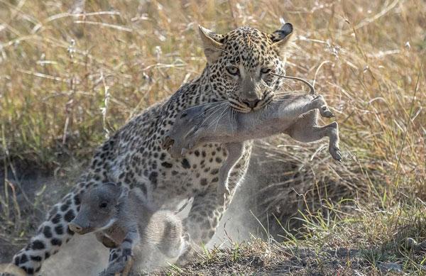 肯尼亚花豹猎杀两只小疣猪 曾被母猪吓跑放弃杀戮
