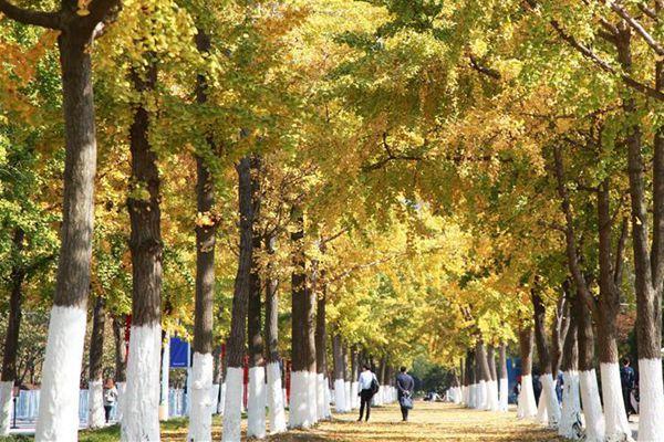 秋日银杏美 各地迎来最佳观赏季
