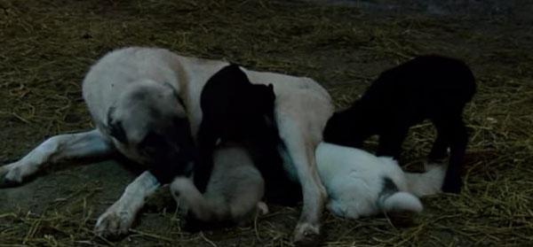 慈爱!土耳其牧羊犬哺乳被弃羊羔视如己出