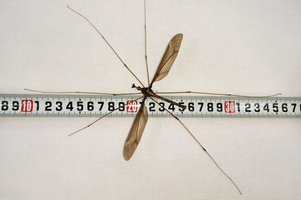 中国专家发现世界最大蚊子,获吉尼斯世界纪录证书