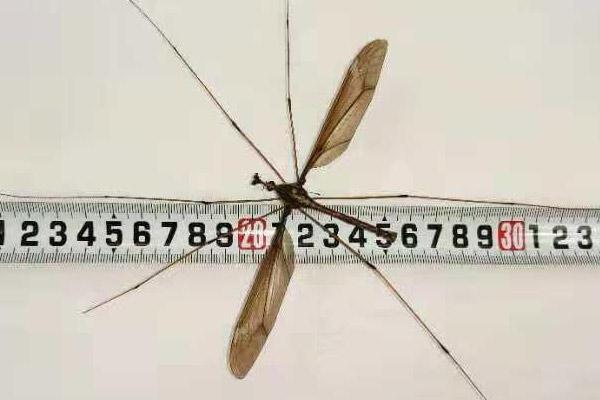 四川青城山发现25.8厘米世界最大蚊子