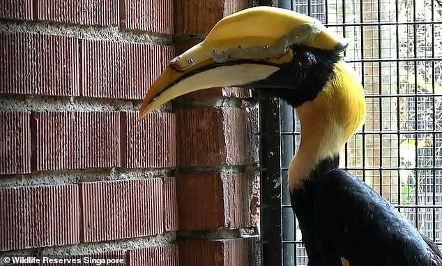 患癌犀鸟喙部产生8厘米长裂口 3D打印助其获新喙