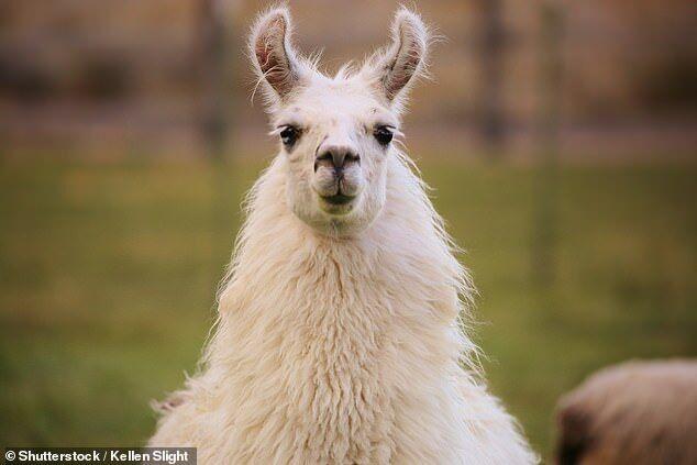 羊驼体内蛋白质可研制长效流感疫苗 抵御60种病毒