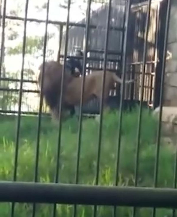 洪都拉斯醉汉在动物园挑衅狮子不成反被咬伤手臂