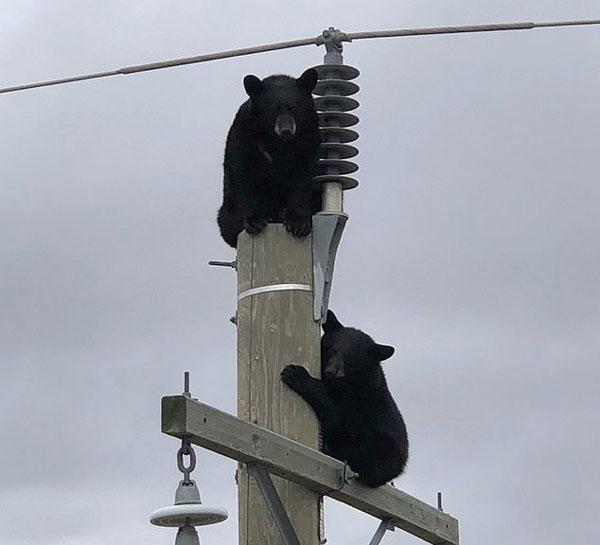 """加拿大两""""熊孩子""""高压电线上打盹吓坏水电局职员"""