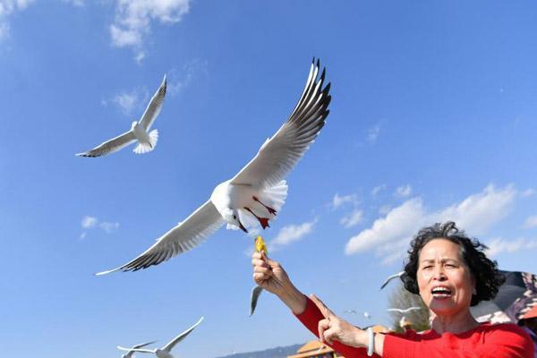 红嘴鸥连续34年飞临昆明越冬