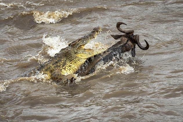 非洲角马迁徙遭巨鳄伏击 惊险时刻成功逃脱