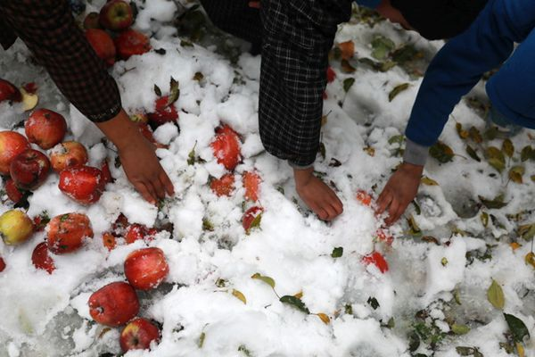 克什米尔水果遭暴风雪重创损失高达4.7亿元 果农雪中挖苹果