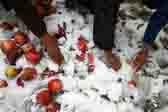 克什米尔水果遭暴风雪 果农雪中挖苹果