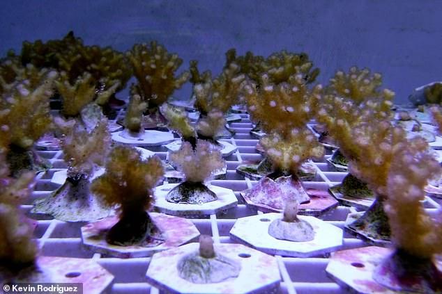 研究:珊瑚进化出独特免疫系统 可应对严峻气候