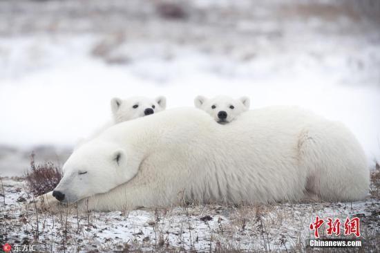 """熊出没!北极熊组团""""包围""""俄远东村庄(图)"""