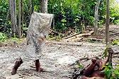 印尼一猩猩装扮成鬼魂模样吓唬同伴