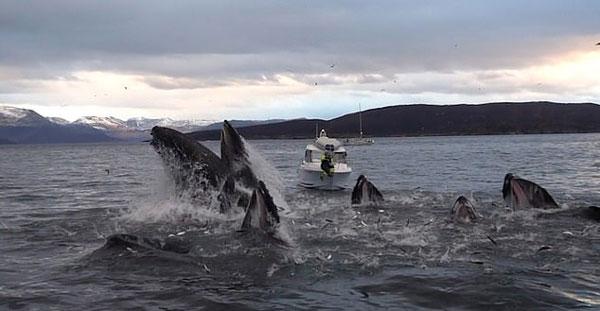 罕见实拍!慢镜头记录座头鲸群协作捕鱼壮观场面