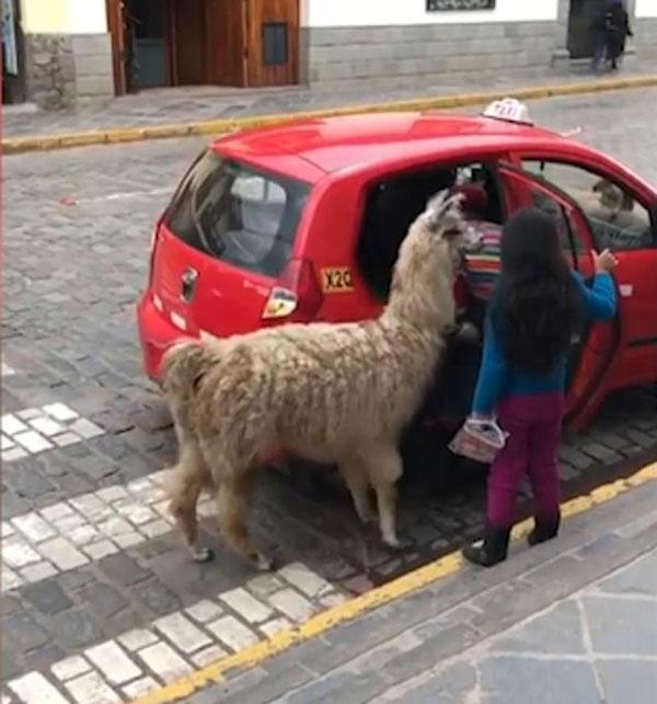 秘鲁一羊驼挤进出租车 姿态搞笑令人忍俊不禁