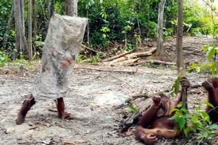 印尼一猩猩装扮成鬼魂模样吓唬同伴令人捧腹
