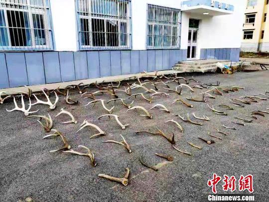 男子进入三江源保护区捡拾大量自然脱落鹿角被查获