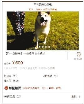 """主人""""现身""""付6万余元欠款 柴犬拍卖将暂缓"""