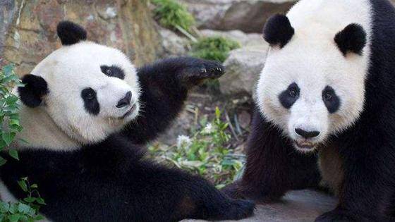澳媒:大熊猫太可爱!南澳动物园想办法挽留