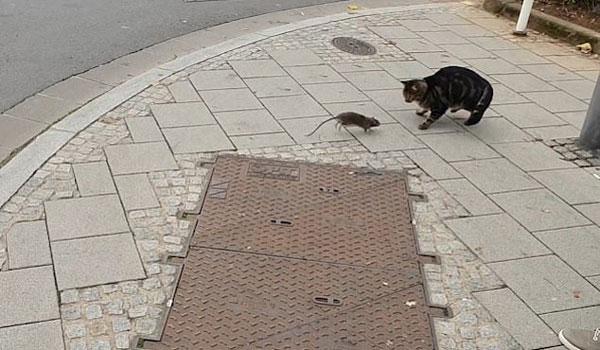 捧腹!喵星人追捕老鼠反被吓坏落荒而逃