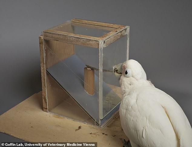 成年凤头鹦鹉可以用硬纸板制作工具以获取食物
