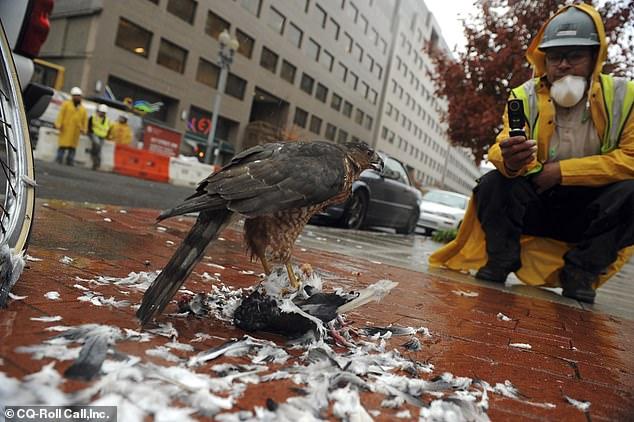 """城市鸟类面临""""危机"""" 芝加哥市区频现鹰捕食猎物"""