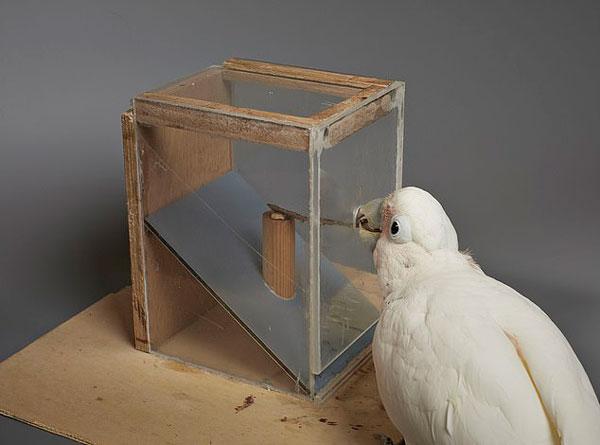 真聪明!凤头鹦鹉竟能用纸板当工具获取食物