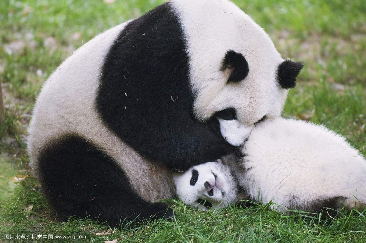 我国发布最新圈养大熊猫数据:全球圈养数量达548只