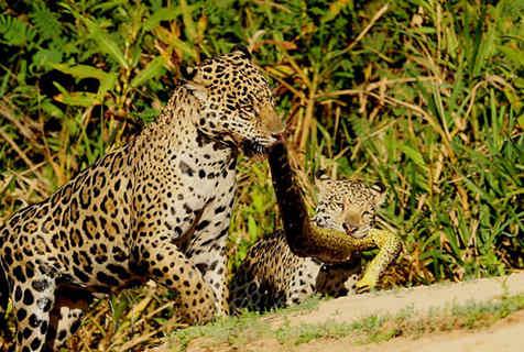 美洲豹与幼崽以蟒蛇为绳开展拔河游戏
