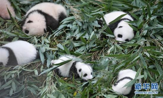 国家林业和草原局发布最新圈养大熊猫数据