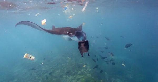 巴厘岛魔鬼鱼在垃圾成堆海域穿梭 生命受到威胁