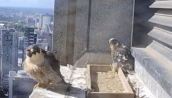 实拍胆怯雏鹰鼓起勇气从高层窗台离巢高飞