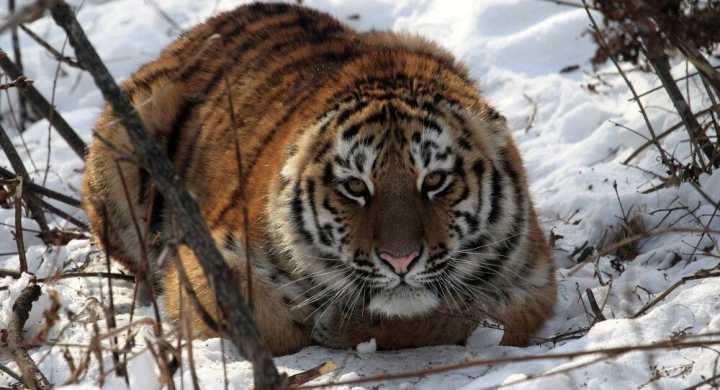 俄方披露消息:一只越境虎今年10月在中国吃了一只羊