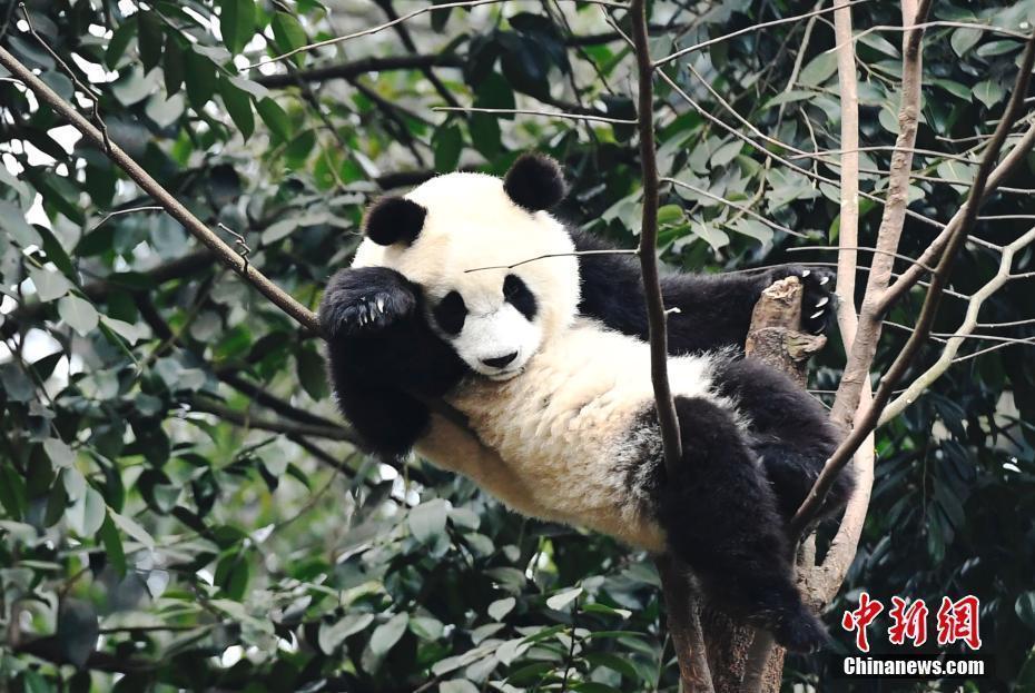 媒体:全球圈养大熊猫种群数量达548只 创历史新高