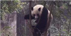 大熊猫表演手撕小树