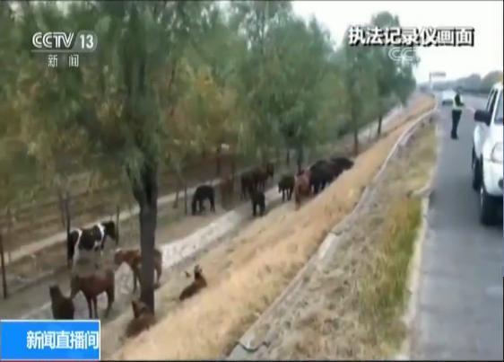 山东淄博运马车高速侧翻 30多匹马逃走吃草