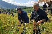 海南山兰稻迎丰收 黎族群众山腰割稻