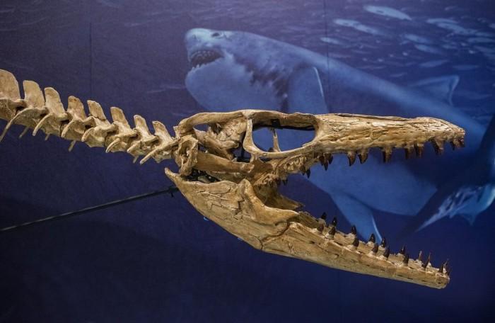 史密森尼学会将展示数千万年前的海洋霸主--沧龙
