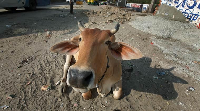 """印度一城市举办""""与牛自拍""""比赛 胜出者将能得到牛粪肥皂等奖品"""
