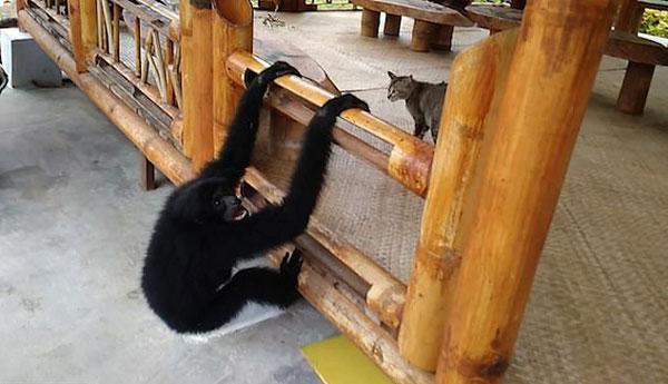 滑稽!印尼一猩猩狂追宠物猫欲与其做朋友